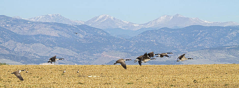 James BO  Insogna - Flying Canadian Geese Rocky Mountains Panorama 2