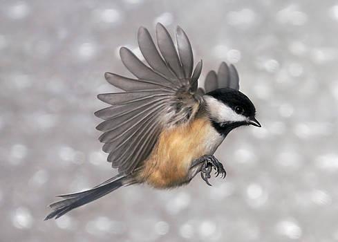 Leda Robertson - Flying Chickadee