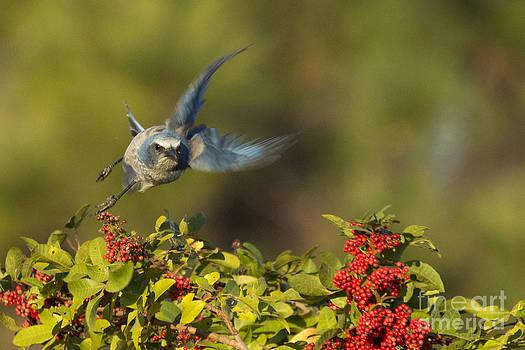 Flying Florida Scrub Jay Photo by Meg Rousher