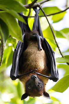 Flying Fox by Kevin Westenbarger