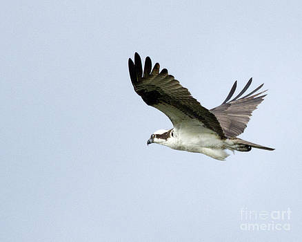 Flying Osprey by Deborah  Smith