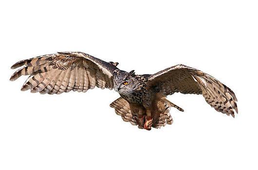 Dreamland Media - Flying Owl