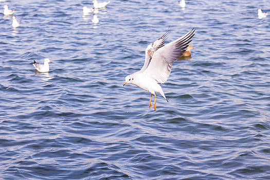 Flying Seagull by Florentina De Carvalho