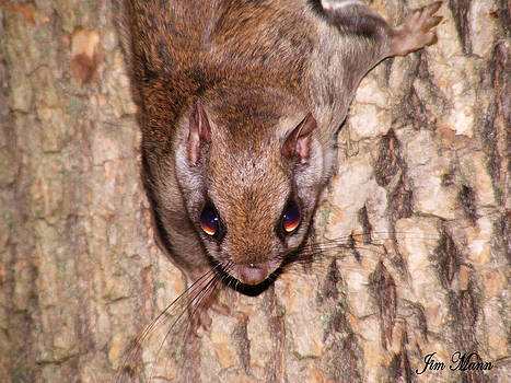 Flying Squirrel  by Mountain Mann