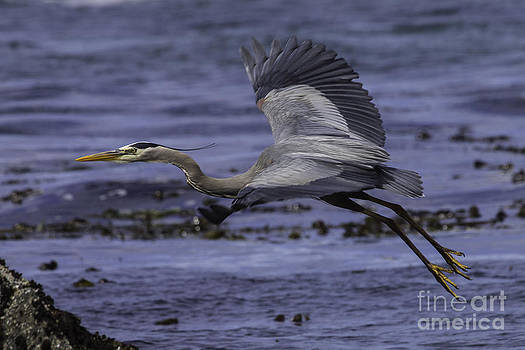 Tim Moore - Fogarty Beach Blue Heron