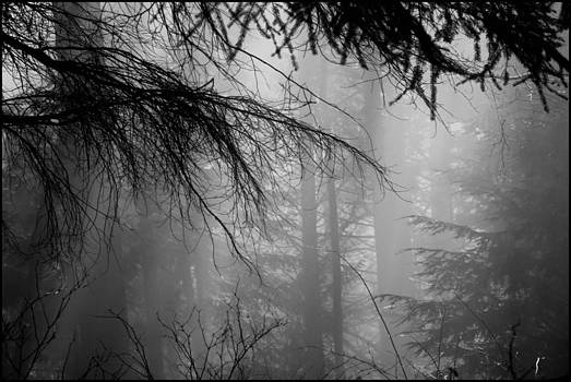 Foggy in the Forest by Colin Sands