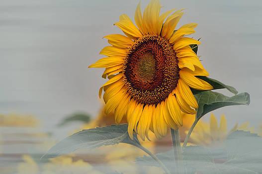 Foggy Sunflowers by Kathy Churchman