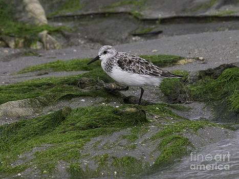 Tim Moore - Foley Island Shore Bird