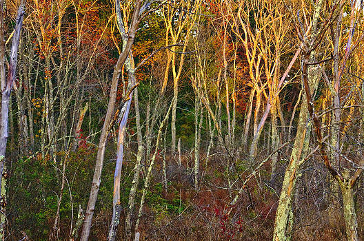 Forest 1 by David Phoenix