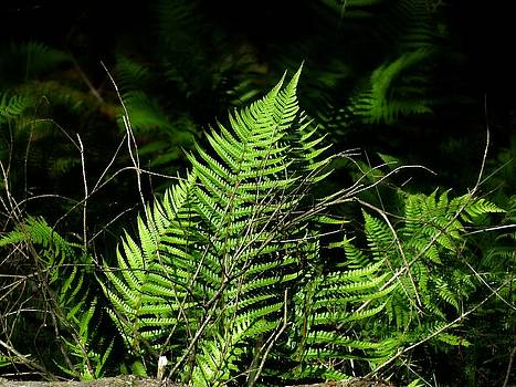 Forest Ferns by Andrew Mcdermott