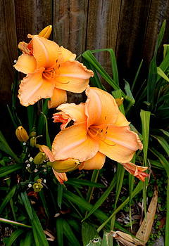 Forever Day Lilies by Kevin Perandis