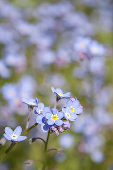 Forget me? Not. by Bamalam  Photography