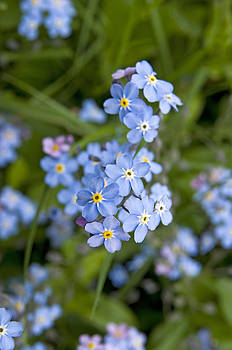Forget Me Not flowers by David Davies