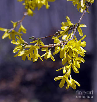 Forsythia by Denise Pohl