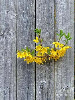 Christine Stack - Forsythia in a Fence