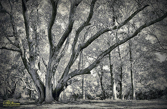 Fort Fisher Live Oak by Phil Mancuso