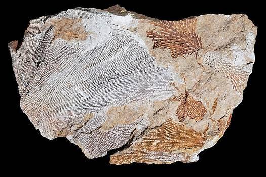 Fossil Bryozoans I by Dirk Wiersma