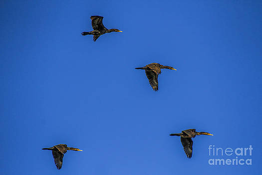 Barbara Bowen - Four flying Cormorants