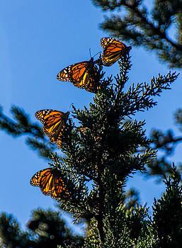 Randy Straka - Four Monarchs