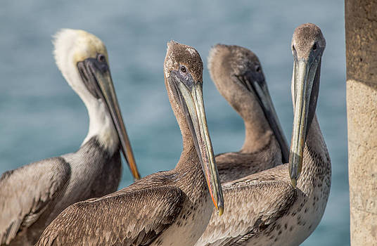 Four Pelicans by Andrea  OConnell