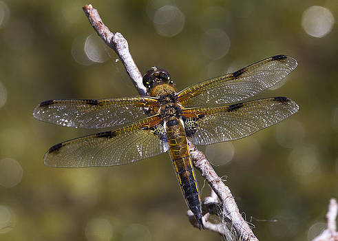 Four-spotted Chaser Libellula quadrimaculata by Bob Kemp