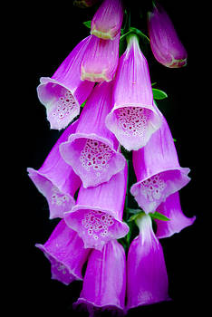 Fox Glove Flower by Crystal Wightman