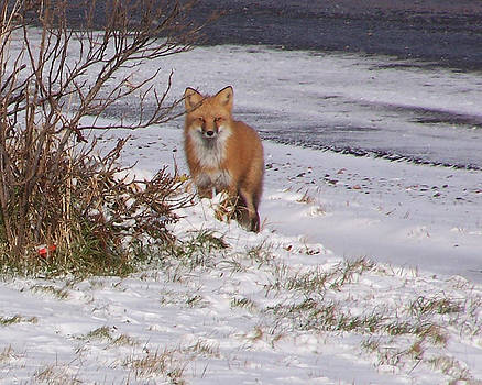 Fox in my yard by Susan Turner Soulis