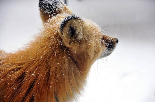 Matt Swinden - Fox in snow 3