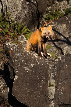 Fox by Jakub Sisak