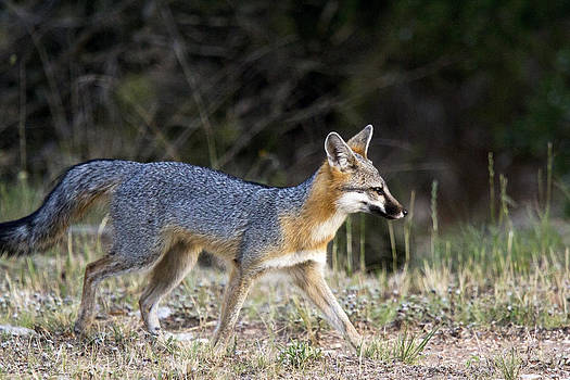 Fox on the move by Dana Moyer