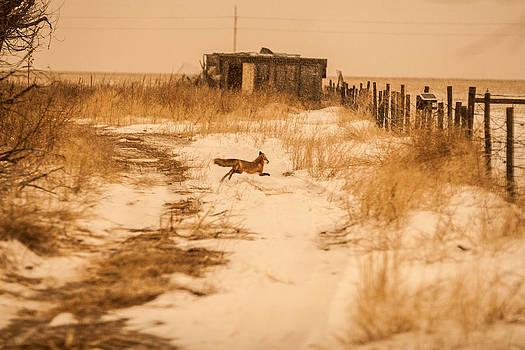 Fox on the Run by Shirley Heier
