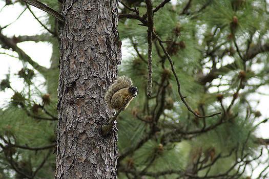 Fox Squirrel in Long leaf Pine by Kim Pate
