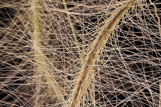 Sandra Foster - Fox Tail Grass Macro
