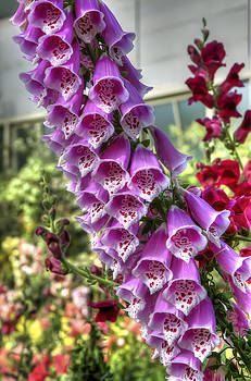 Foxgloves by Dave McGregor
