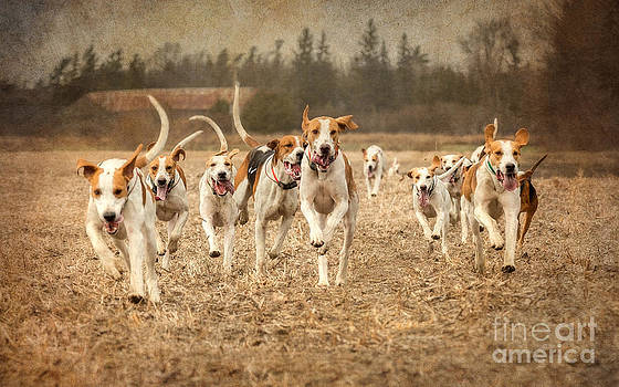 Foxhounds Corn Field by Heather Swan