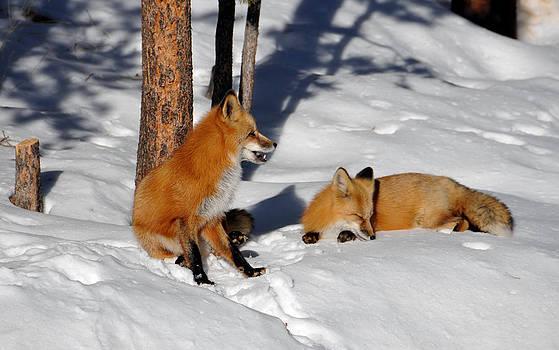 Matt Swinden - Foxy couple 4