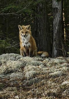 Alan Norsworthy - Foxy Lady - Algonquin Park