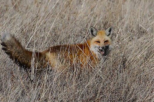 Foxy by Paul Marto