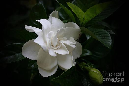 Fragrant Gardinia Blossoms  by Jinx Farmer