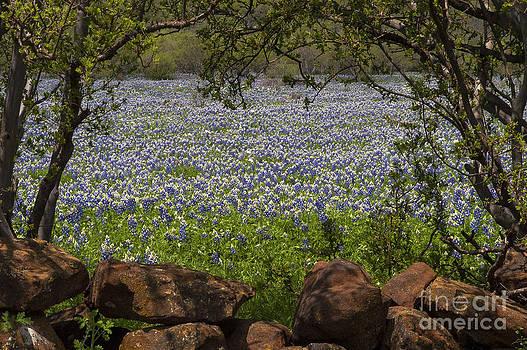 Bob Phillips - Framed Field of Blue Bonnets