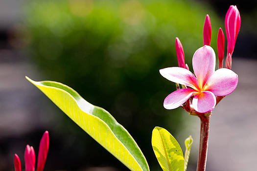 JOHN FERRANTE - Frangipani Flower