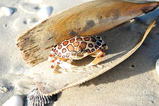 Frank The Spotted Crab of Anna Maria by Margie Amberge