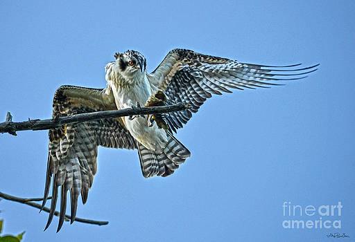 Free Lunch - Osprey by Skye Ryan-Evans