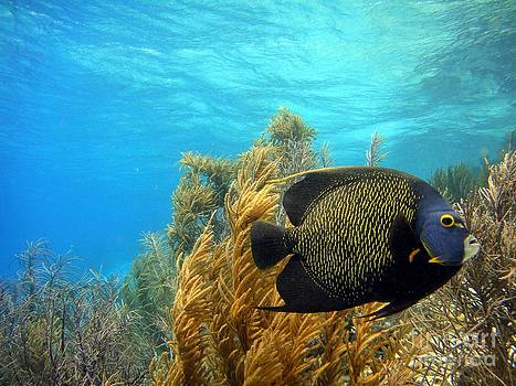 French Angelfish by Isabelle Kuehn