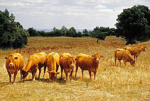 Dennis Cox WorldViews - French cattle