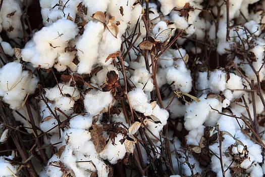Fresh Cotton by David Kittrell