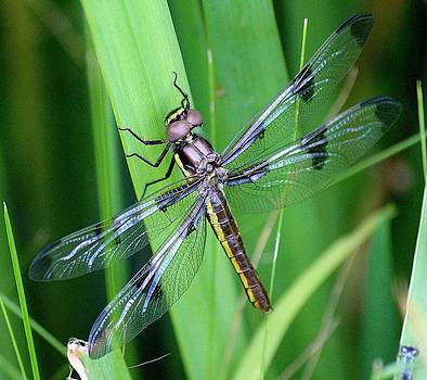 Rosanne Jordan - Fresh Dragonfly