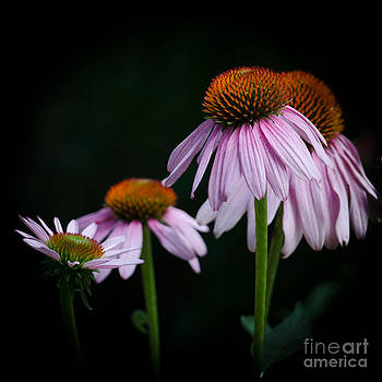 Fresh Echinacea by Renee Barnes