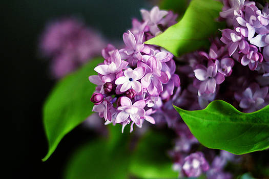 Fresh Lilacs by Beverly  LeFevre