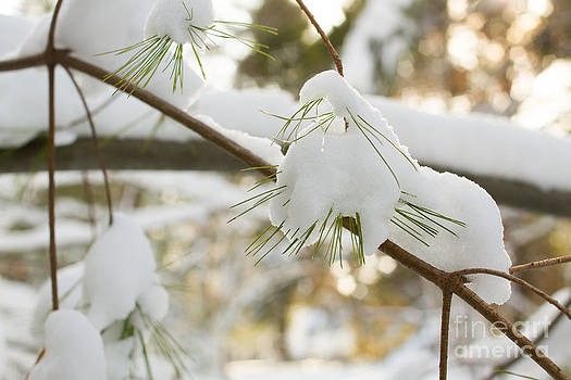 Fresh Pine Snow by Denise Lilly